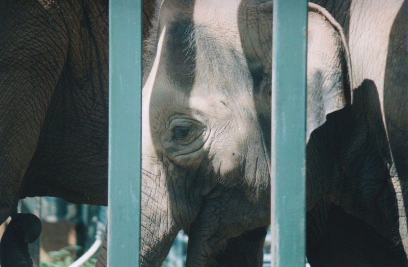 Elephant One Animal Animal Wildlife Mammal Outdoors Day Beauty In Nature Beauty Behind Bars Zoo Life Close-up Animal Trunk Animal Themes Film Photography Twycross Zoo