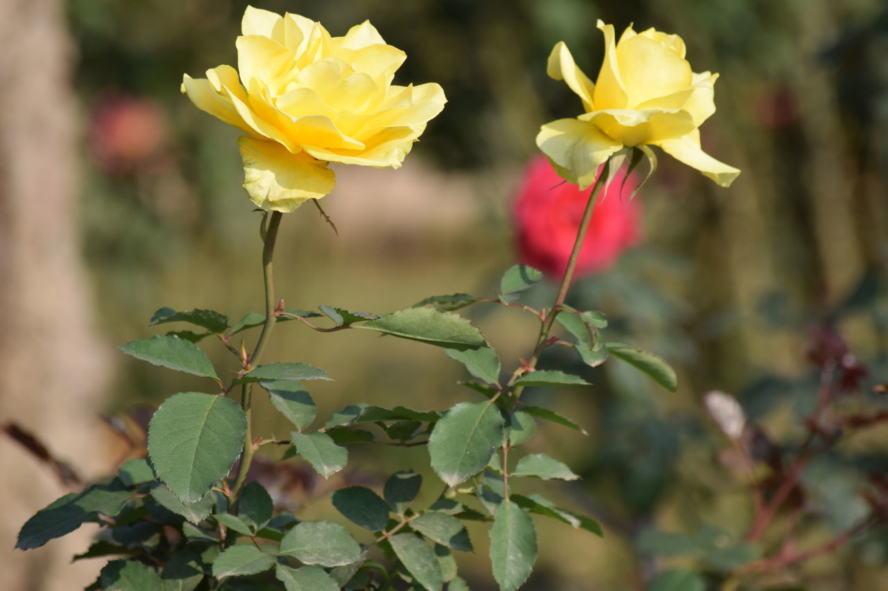 Some winter flowers... Beauty In Nature Close-up Day Flower Flower Head Focus On Foreground Fragility Freshness Growth Nature No People Outdoors Plant Yellow Rose