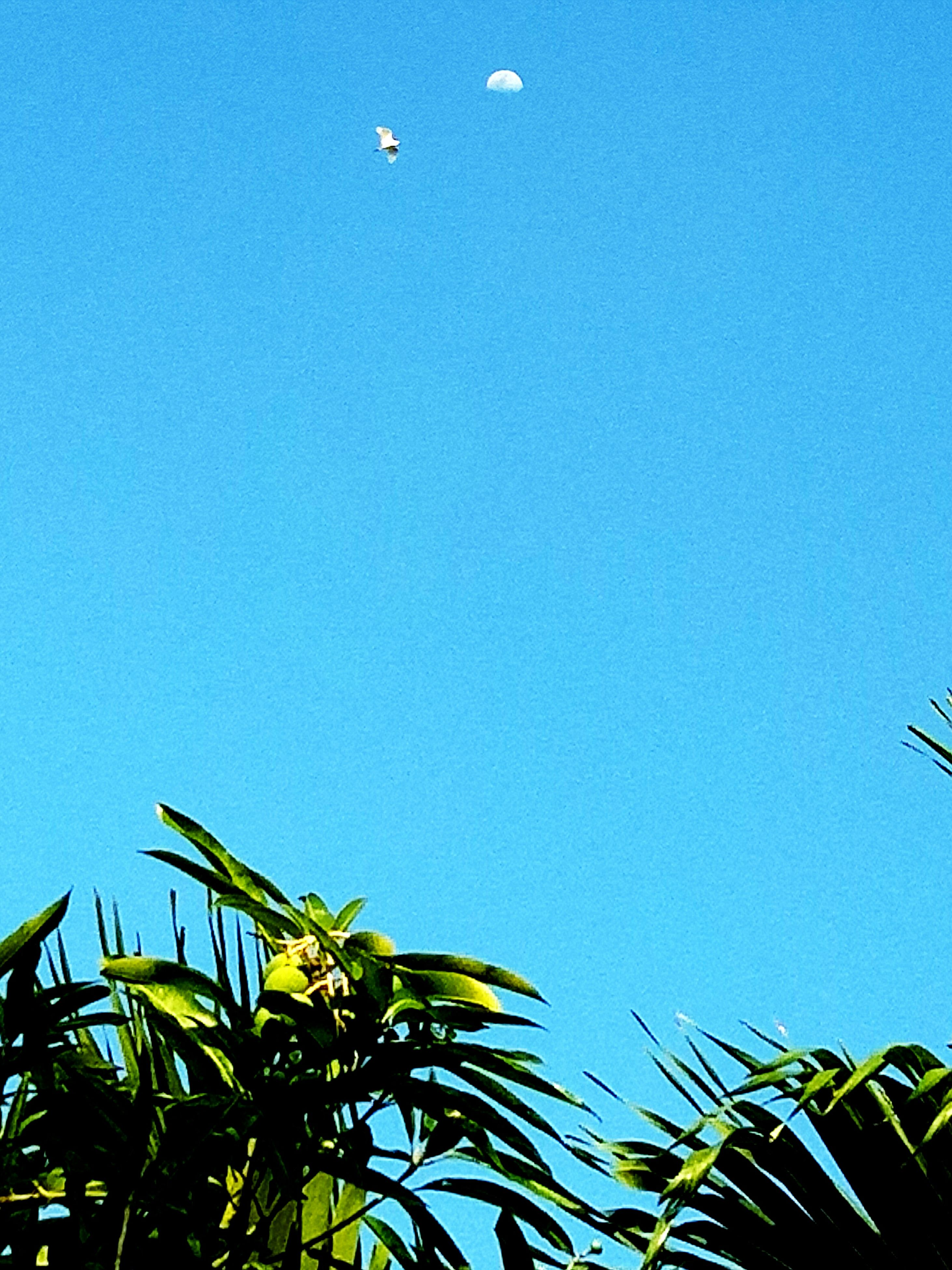 blue, clear sky, flying, low angle view, sky, nature, no people, outdoors, palm tree, day, bird, beauty in nature