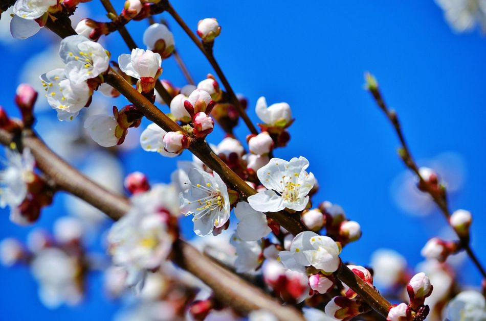 Growth Patterns In Nature Backgrounds Bright Light Bright Colors Sunshine Morning Light Spring Spring Time Outdoor Photography Freshness Flower Head Fragility Beauty In Nature Apricot Tree ApricotBlossom Apricot Flowers Blossom Blossom Tree Flower White Flower Blooming Blooming Flower Growth Outdoors
