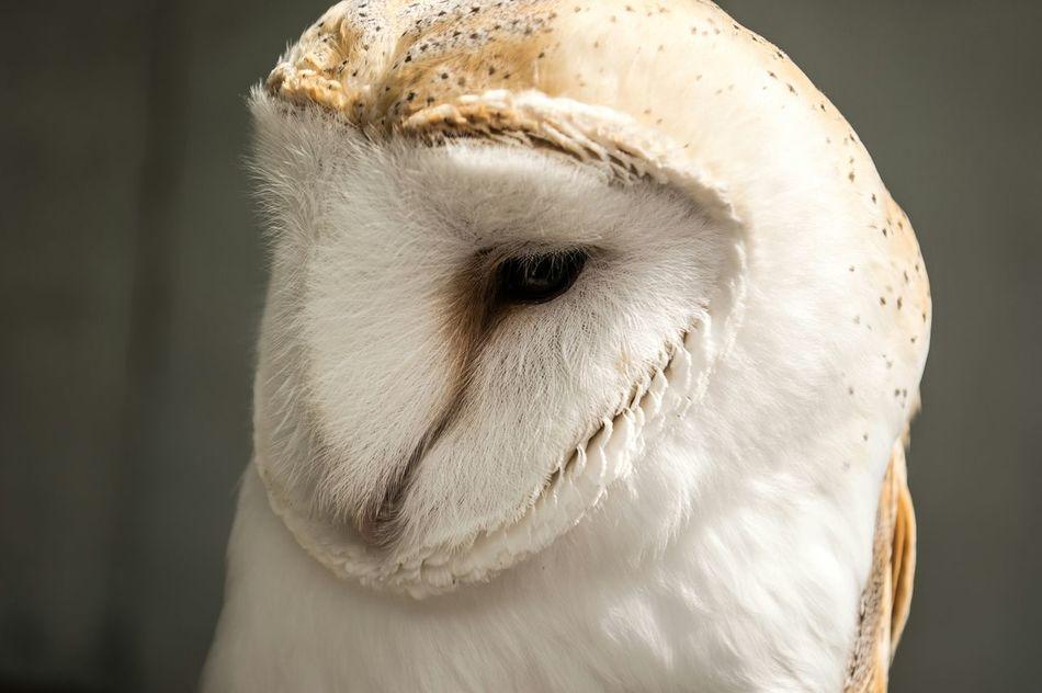 The Thinker Owl Bird Closeup Get Close