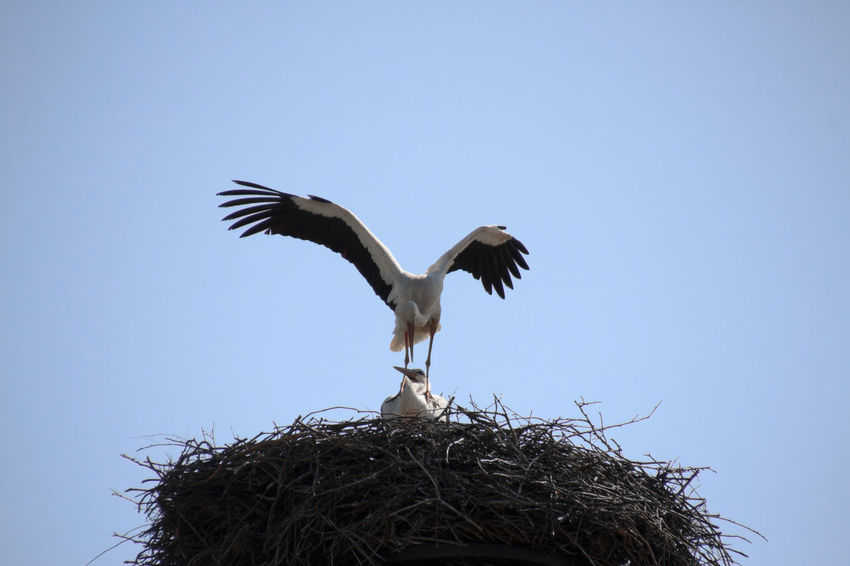 Procreation of storks - Fortpflanzung der Störche Animal Animal Nest Animals In The Wild Bird Bird Nest Bird Photography Birds Birds Of EyeEm  Birds_collection Birds🐦⛅ Ciconia Ciconia Ciconiidae Clear Sky Day EyeEm Birds Nature No People Outdoors Sky Stork Couple Storks Störche White Stork