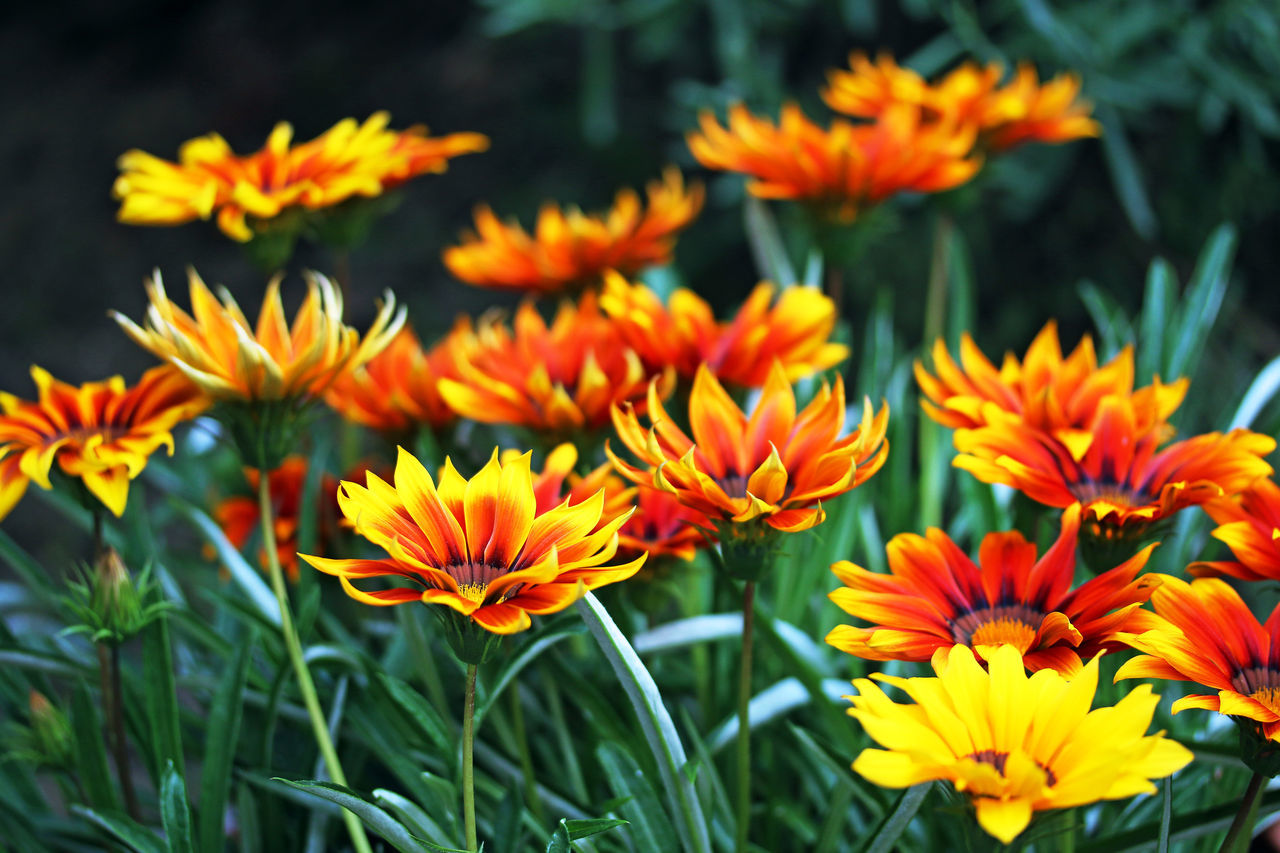 Beauty In Nature Close-up Day Flower Flower Head Freshness Nature No People Outdoors Petal Yellow Red Daisies