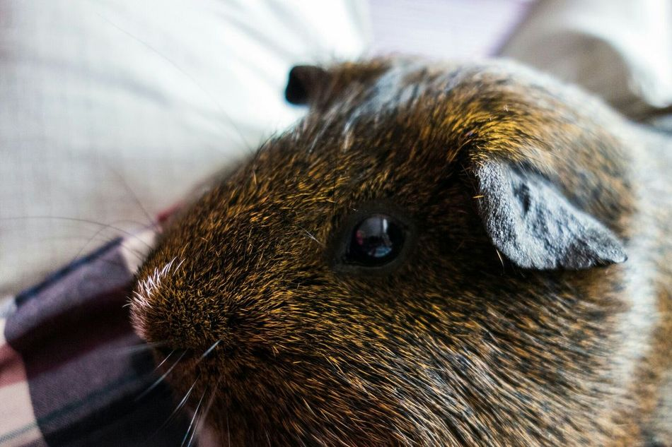 Beautiful stock photos of hamster, Animal Themes, Close-Up, Day, Domestic Animals