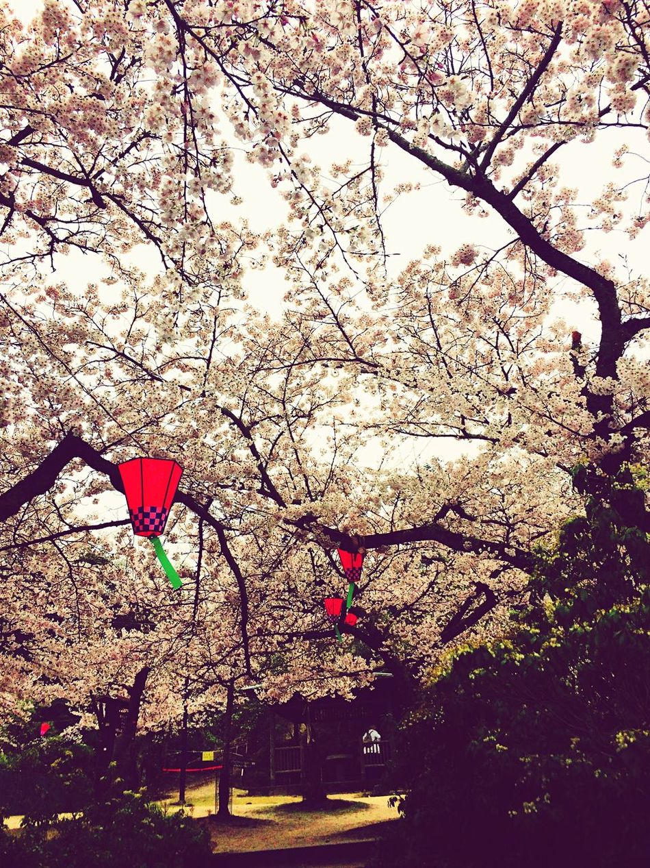 Cherry Blossoms Trees Hiroshima -Miyajima Hiroshima Japan Japan Photography Nature Nature Photography Nature_collection Low Angle View Outdoors No People Flower Beauty In Nature