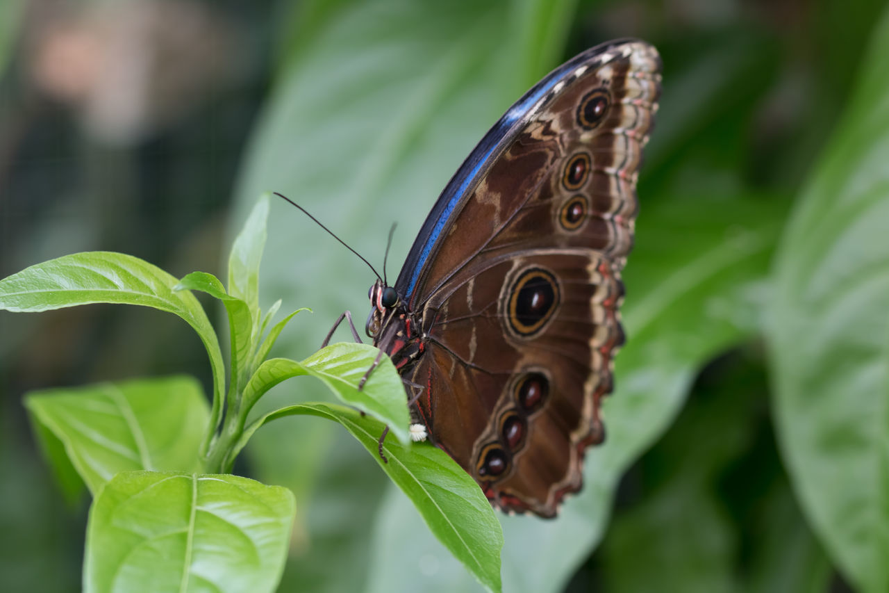 Butterfly captured in macro - brown, blue detail, on a leaf Animal Themes Butterfly Butterfly - Insect Close-up Insect Macro Macro Beauty Macro Photography Macro_collection Nature Nature Photography Nature_collection Naturelovers One Animal