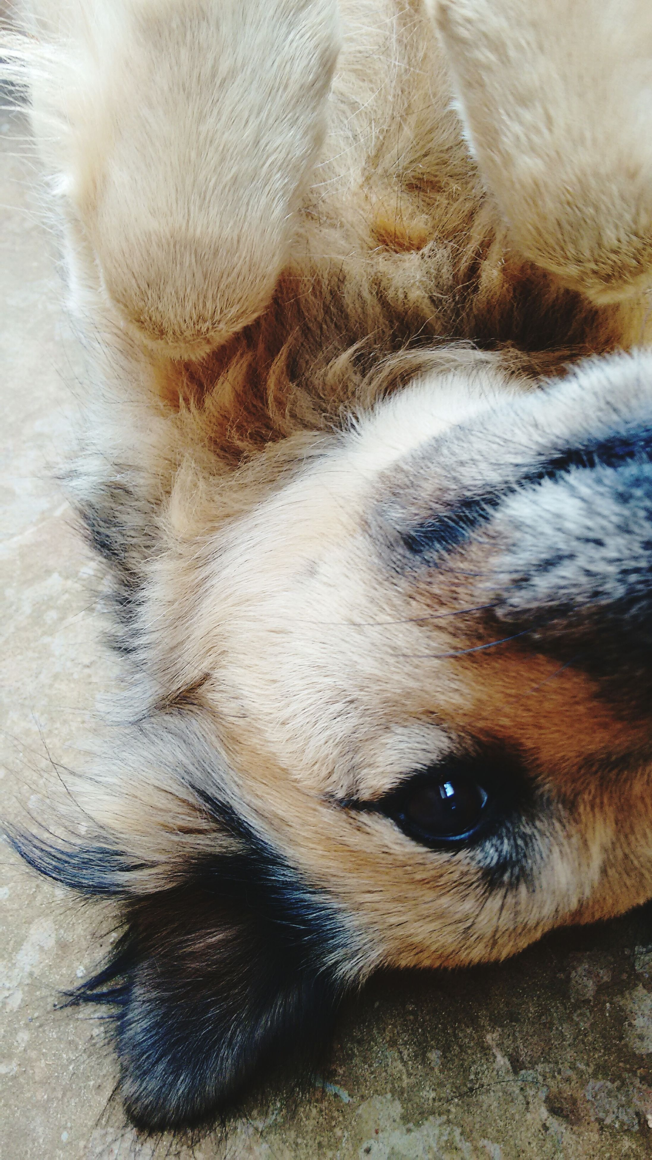 animal themes, domestic animals, one animal, mammal, pets, dog, animal head, close-up, animal body part, relaxation, sleeping, lying down, resting, animal hair, no people, indoors, eyes closed, high angle view, whisker, portrait