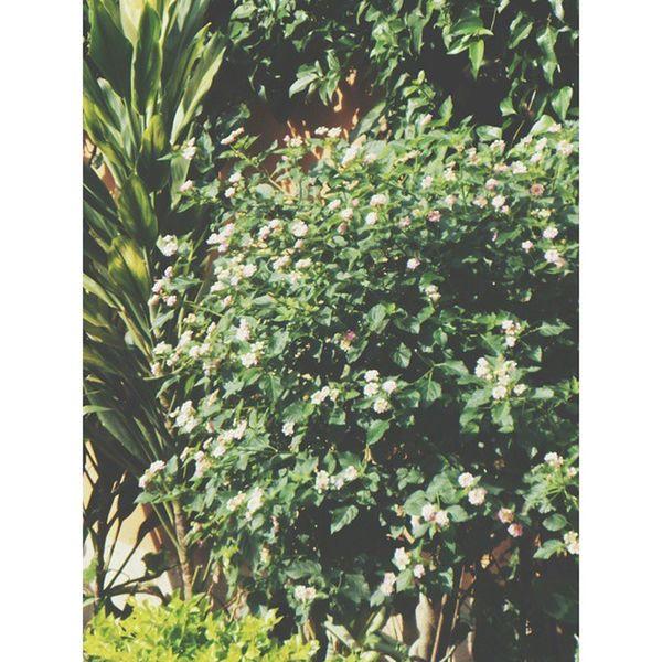 Green Shrub Bush Flowers Summer Light Sun Sunlight Garden Smallgarden Vscogreen Vscophile VSCO Vscoflowers Vscocam Nikon
