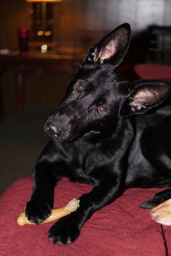 Pearl and her head tilt. Pets German Shepherd Blackgermanshepherds Canine Companion Pet Portraits