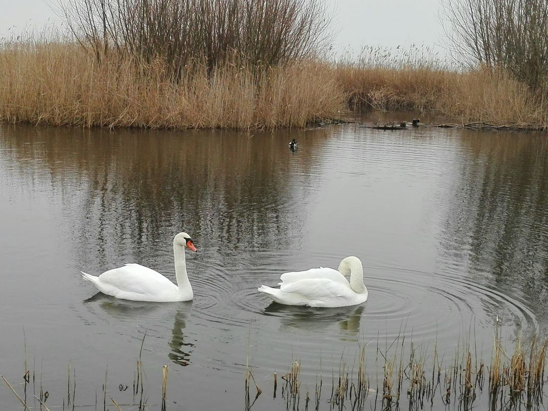 Swan Swans Water Animal Themes Animals In The Wild Bird Lake Swimming Reflection Nature Floating On Water Water Bird Reflection Nature BergenopZoom Magic Winter Blue Thenetherlands Beauty In Nature Moments Landscape Tranquility Beautiful Grass