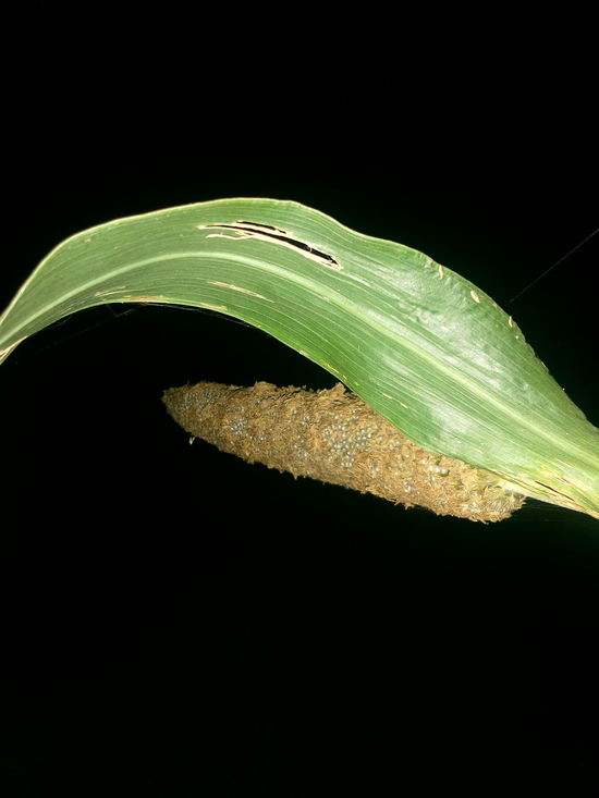 Black Background Corn Corn Fields Night Photography Leaves🌿 Farming Farming Life Food Outdoors Beauty In Nature Nature Leaf No People Close-up Biology Green Color
