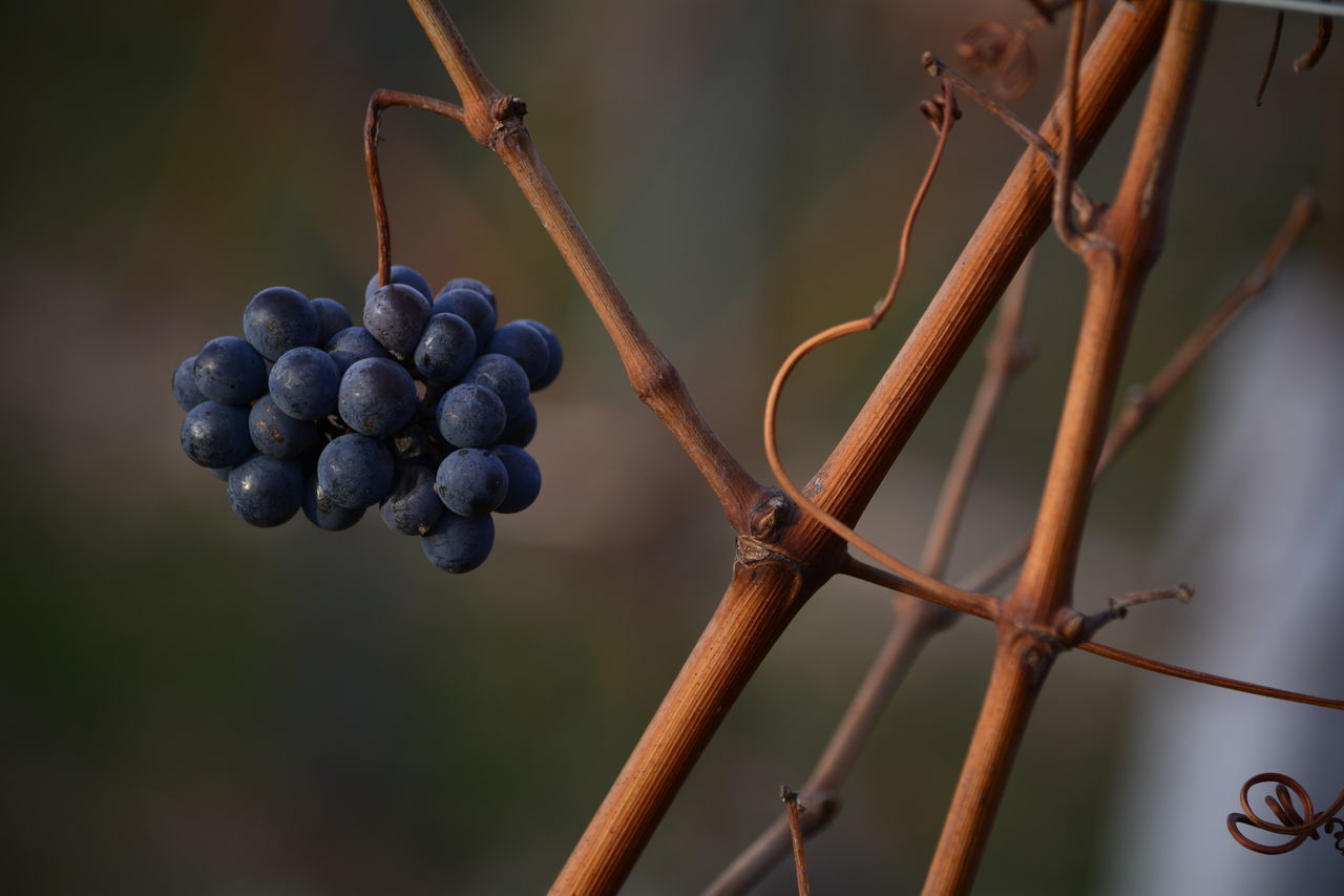 Grapes🍇 Nature_ Collection  Grapes Nature Photography Autumn 2016 Nature_perfection Wine Time Enjoy The Moment Grapes 🍇 Autumn🍁🍁🍁 Autumn Colours Wineyards In Autumn Hello World ❤ Eye4photography  Nikon_photography Wineyards EyeEm Nature Lover Hello World Baden Austria Eyeem4photography Eye4photography  Enjoying Nature Capture The Moment Eyem Gallery Nature_ Collection  Urban Nature EyeEmNewHere