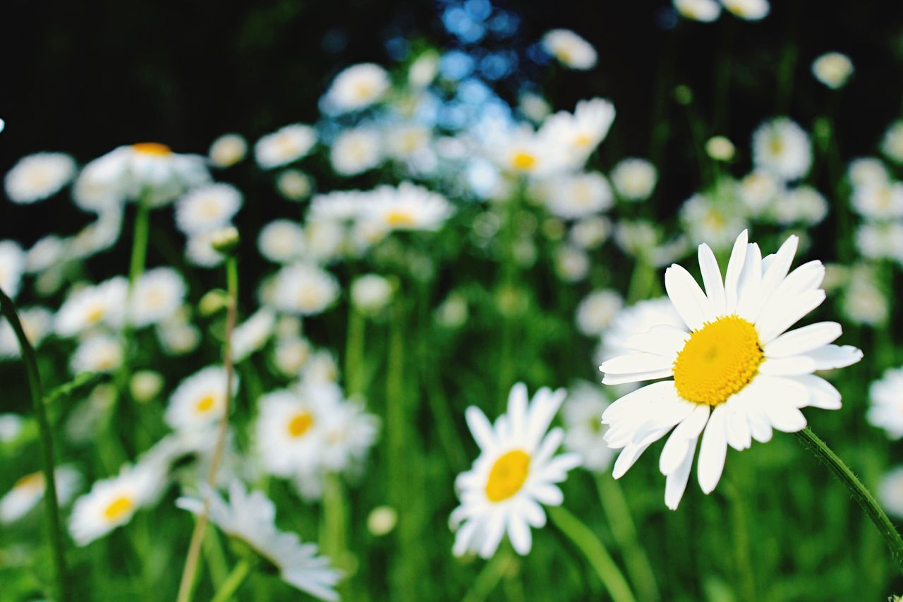 flower, nature, petal, beauty in nature, fragility, growth, white color, freshness, blooming, yellow, flower head, plant, spring, no people, outdoors, close-up, day