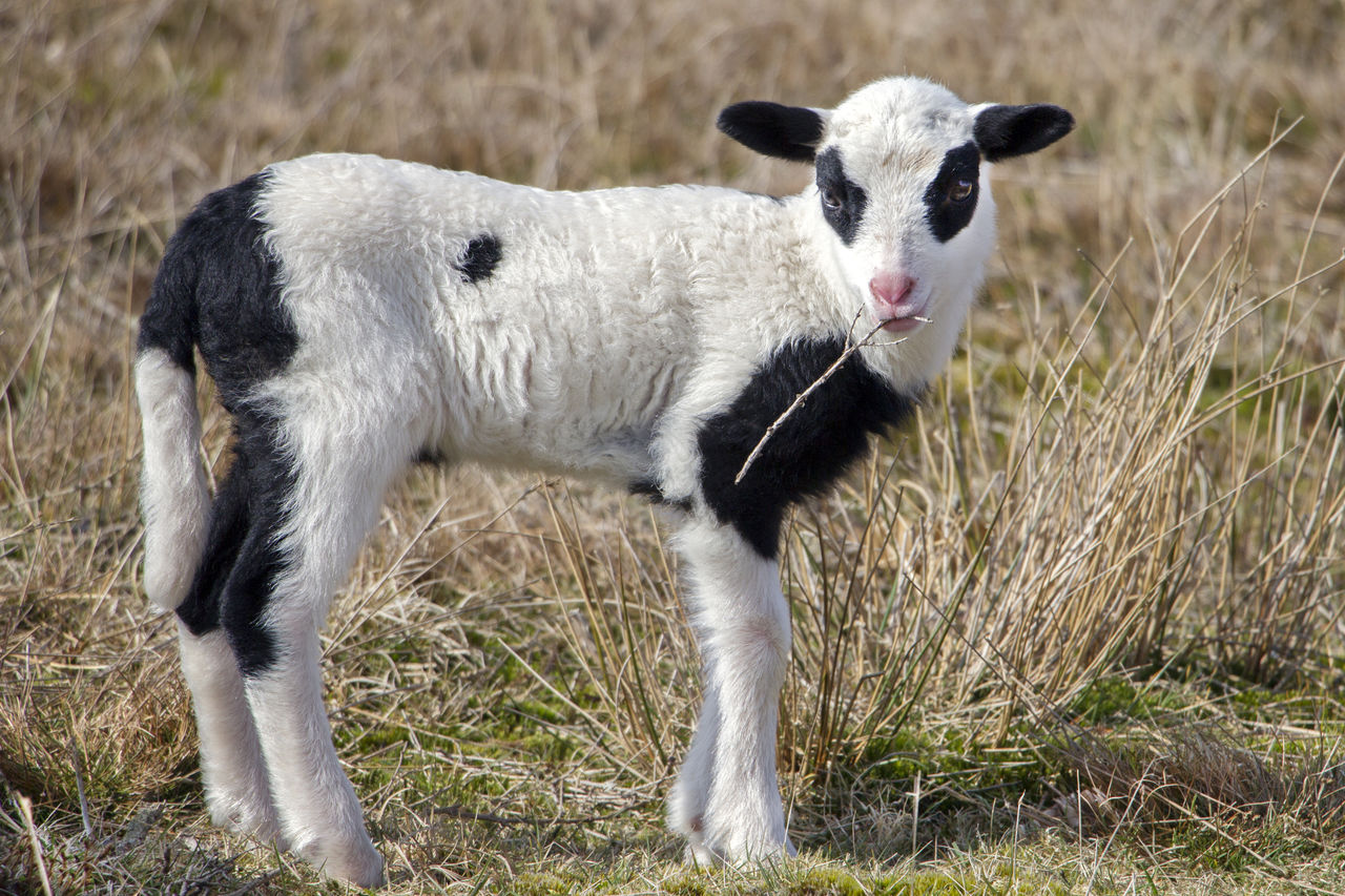 Close-Up Of Goat Grazing On Grassy Field