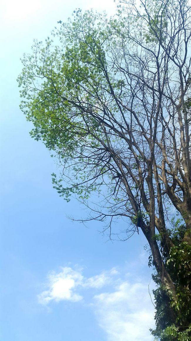 Visiting Kebun Raya Bogor in this Perfect Weather Blue Sky Green Nature Bright Sky Tree Branches Tree Bogor INDONESIA Kebun Bogor Botanical Garden Botany Botanical Gardens Summer Explore Showcase July