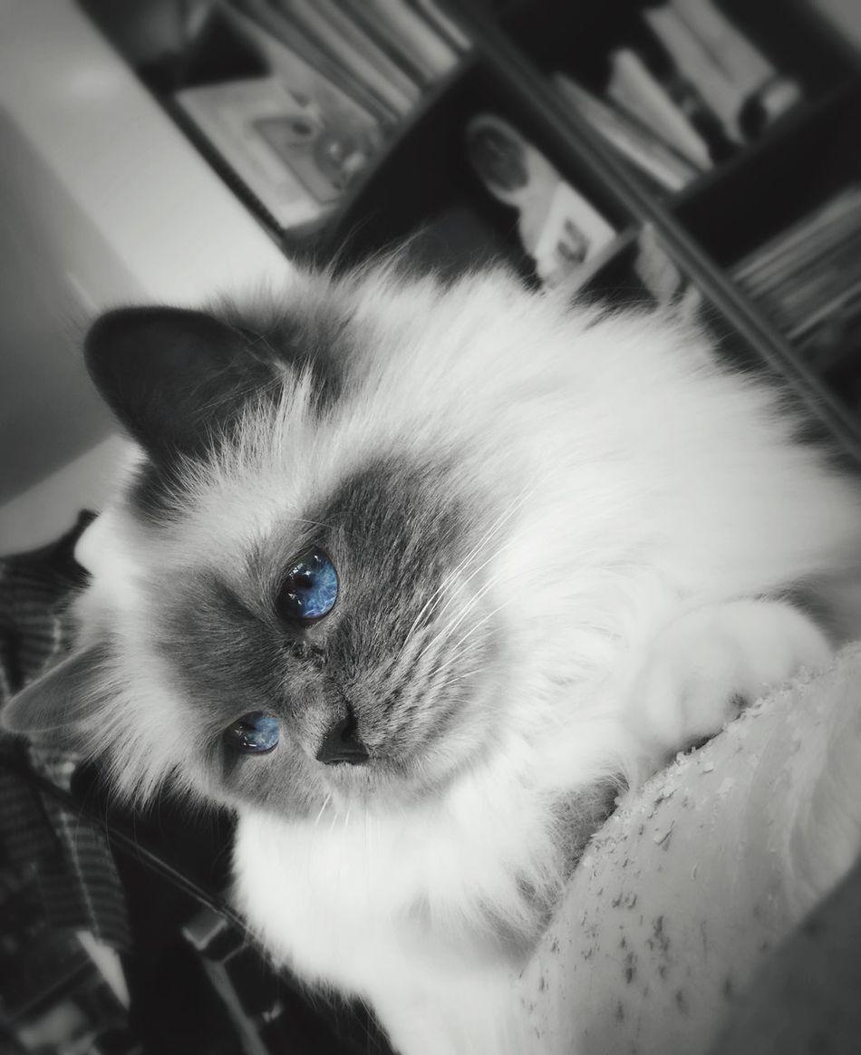 Birman  Cat B&w Black And White