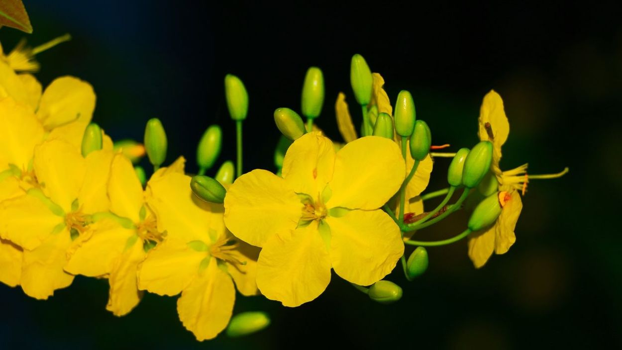 The flowers - apricot blossom which you can see at my country when you visit in the new lunar year!!! Flower Yellow Beauty In Nature Plant Growth Nature Petal No People Fragility Freshness Blooming Close-up Flower Head Night Outdoors Nature Tet Holiday Vietnam