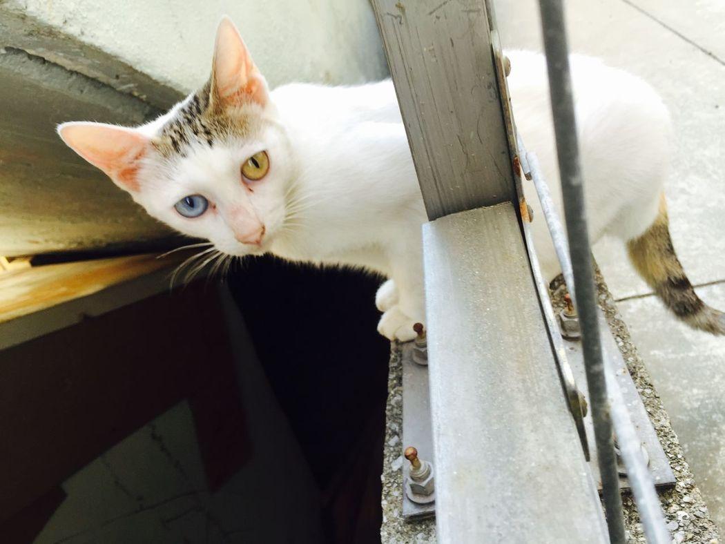 Capturing Freedom Cat Odd Eye 猫 色違いの目 アパートの下に住み込んでる野良猫の目がオッドアイ