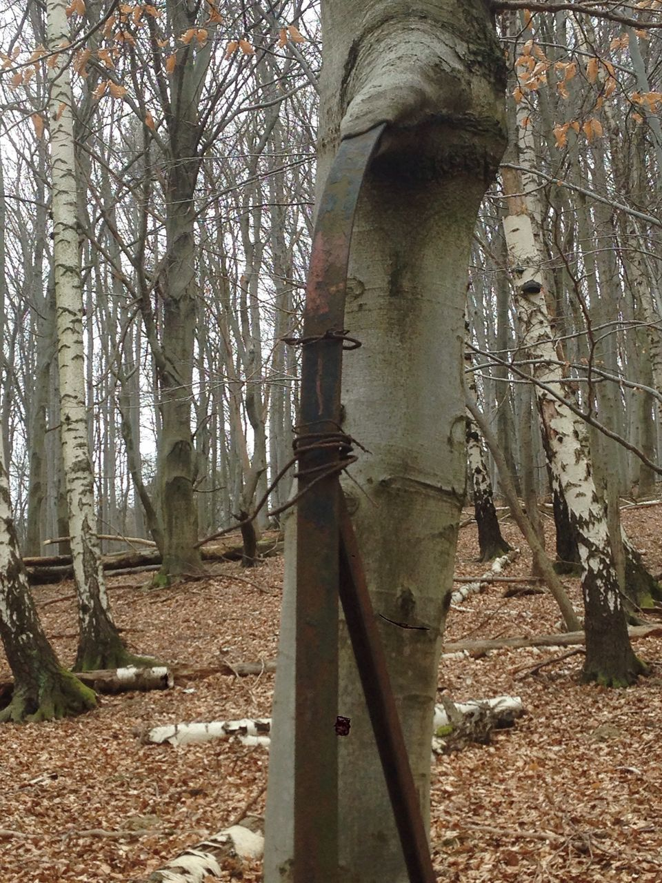 tree, tree trunk, forest, tranquility, day, nature, growth, no people, outdoors, scenics, branch