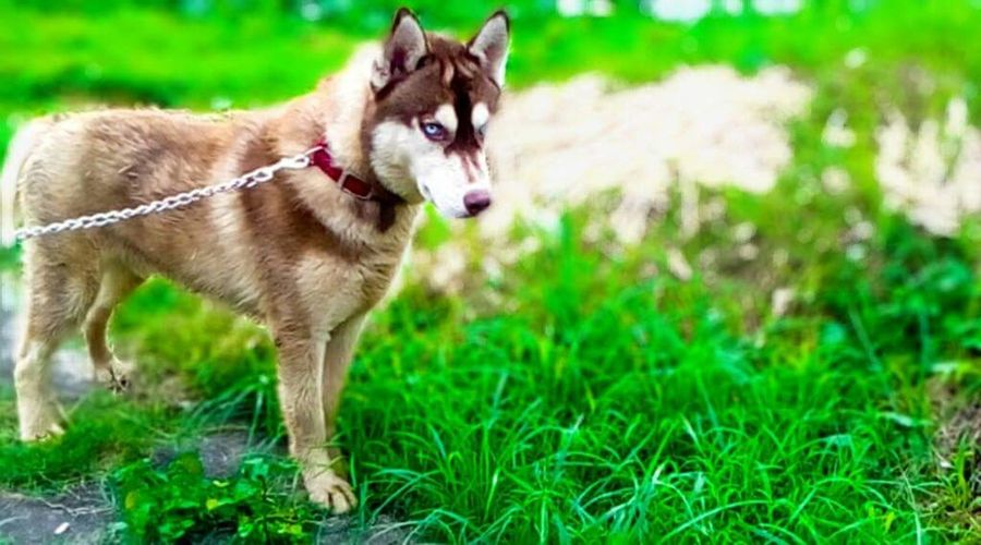 Pets Grass Dog Animal Themes Mammal Outdoors One AnimalHappiness Day Nature Animal Domestic Animals Green Color Beauty No People Portrait Cool_capture_ Huskyphotography Pet Leash Dog Lead Tree Grass Blue Eyes