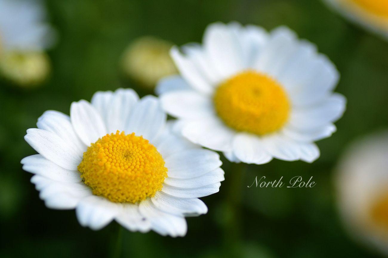 Spring Flowers ノースポール North Pole Cute EyeEm 2015 TAMROM Nikon D5200 Japan