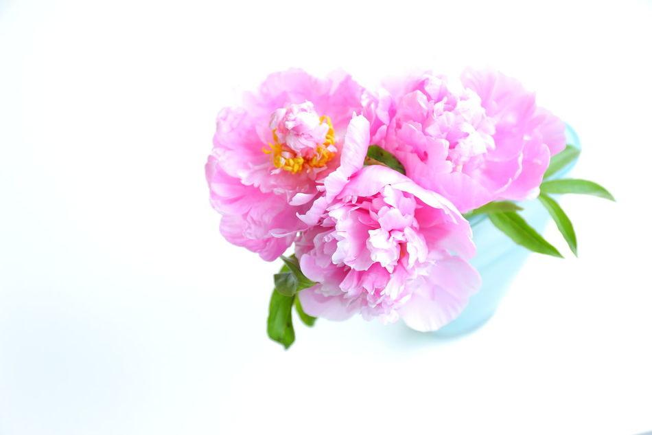 Flowers,Plants & Garden Peony  Flower シャクヤク 芍薬