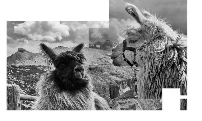 Parts of One Another Alertness Animal Animal Body Part Animal Hair Animal Head  Animal Themes Blackandwhite Close-up Communication Day Design Dynamics Focus On Foreground Frame Graphic Llamas Mammal Modern Nature No People Outdoors Portrait Relationships Sky Whisker