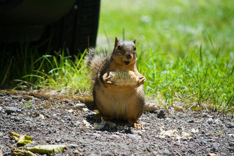 Squirrel Squirrel With Corn
