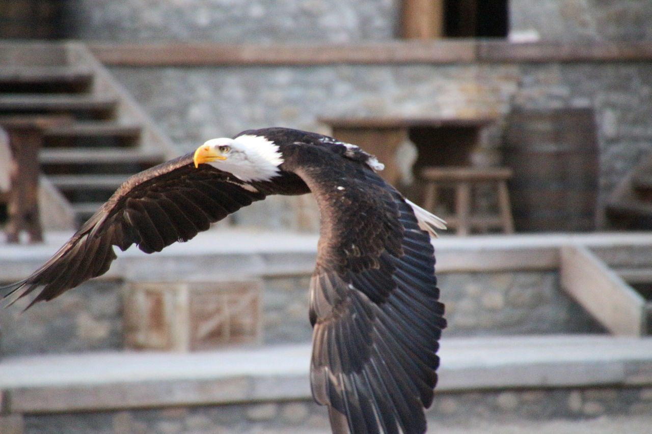 Beautiful stock photos of bald eagle, Animal Themes, Animals In The Wild, Architecture, Bald Eagle