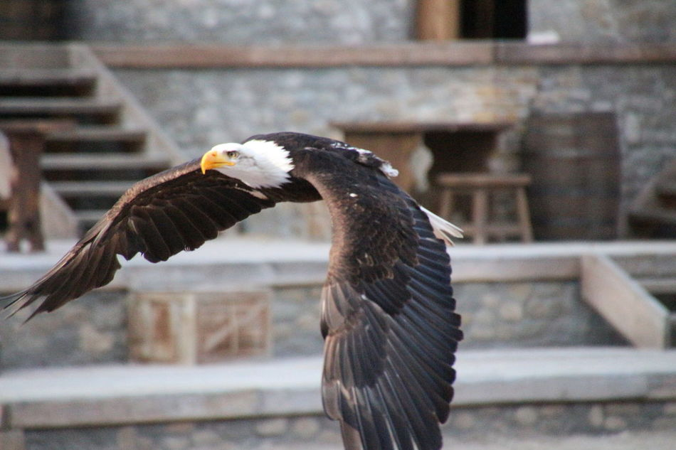 Beautiful stock photos of eagle, Animal Themes, Animals In The Wild, Architecture, Bald Eagle