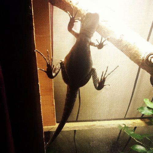 Basilisk Basil Getoffthescreen Lizard reptilesofinstagram