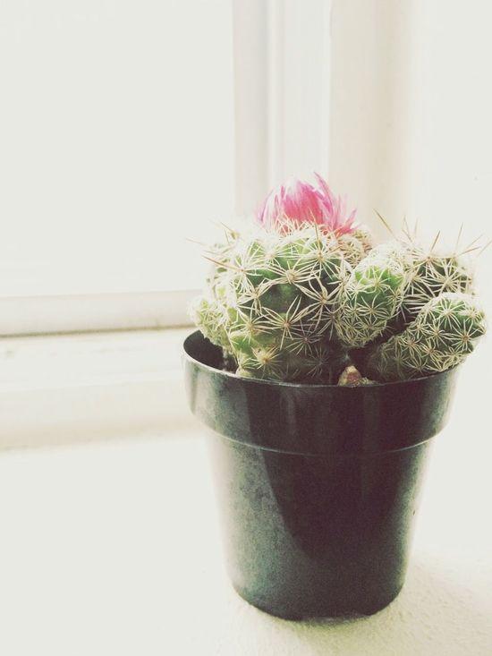 Succulents Plants Cactus Cactus Flower Mini Plants Hello World Taking Photos Green