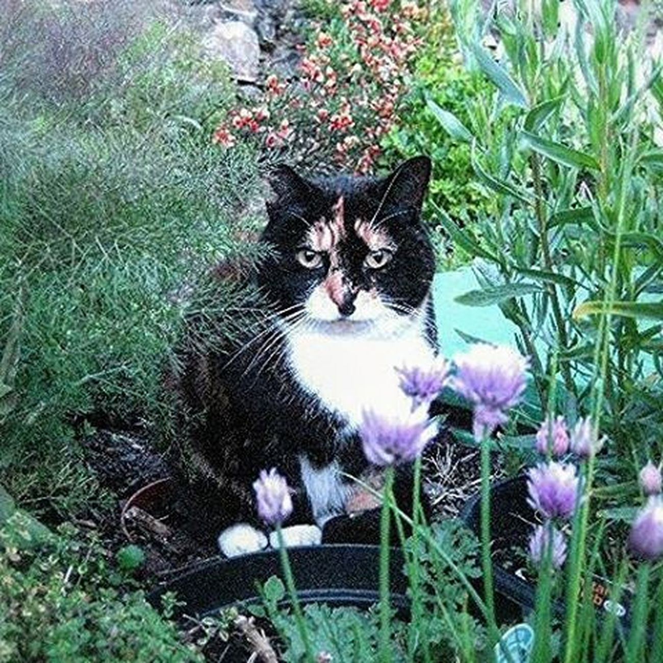 In memory of Tiny A complicated lady In my view She trained me From a dog lover To a cat and dog lover RIP dear Tiny Rip Catlovers Catsoninstagram Herbs Catnip
