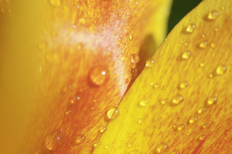 Backgrounds Beauty In Nature Close-up Day Drop Fragility Freshness Full Frame Nature No People Outdoors RainDrop Tulip Flower Water Wet