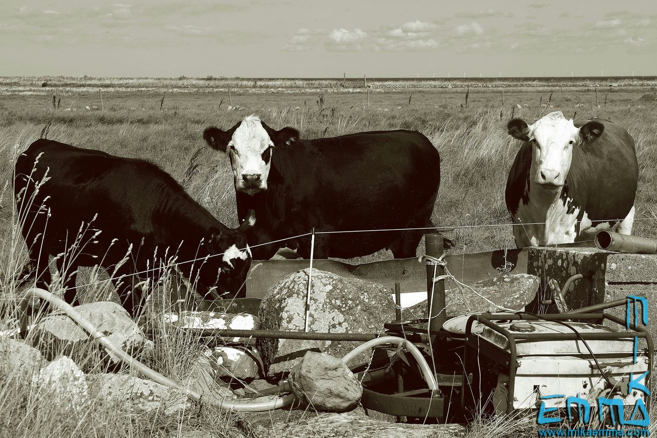Thought somebody was watching me... Cows Blackandwhite Alvaret Öland Nature