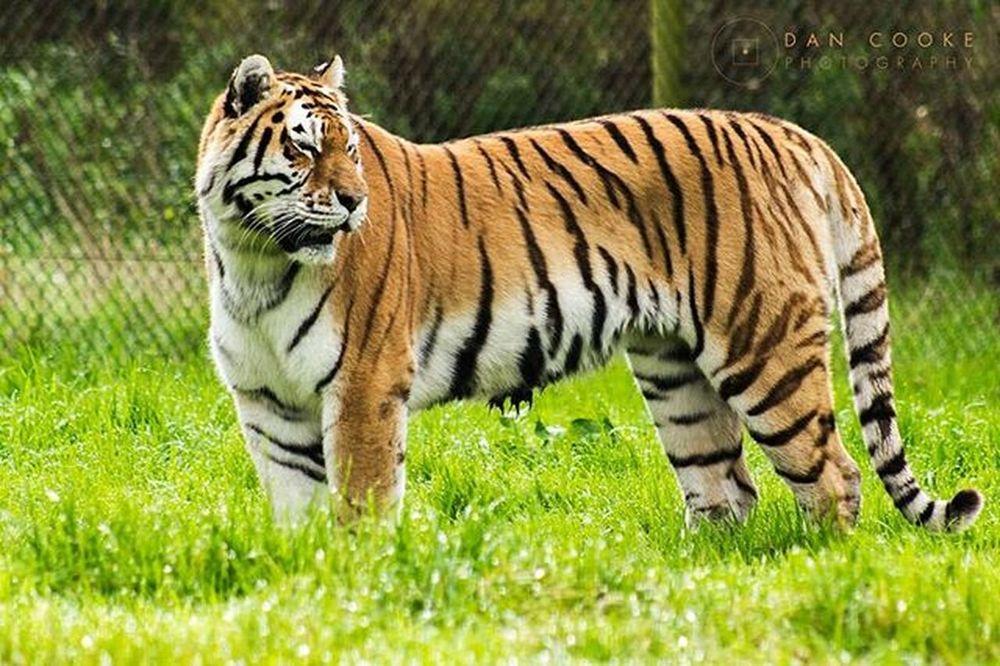 Striped Tiger Longleatsafaripark Wildlife Bigcats @longleatofficial