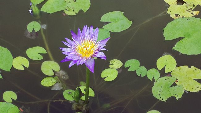 Water Lily Pacman Pottery Village Danang, Vietnam Colour Of Life Outdoor Photography Outdoor Activity Hello World