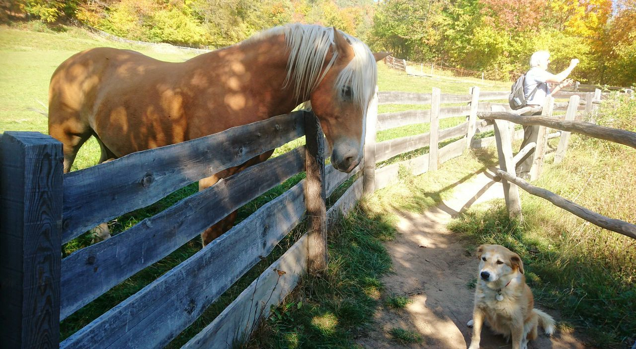 Lissy hält lieber Abstand, Haflinger auf dem Ritten Mammal Animal Themes Domestic Animals One Animal Paddock Outdoors Day No People Nature