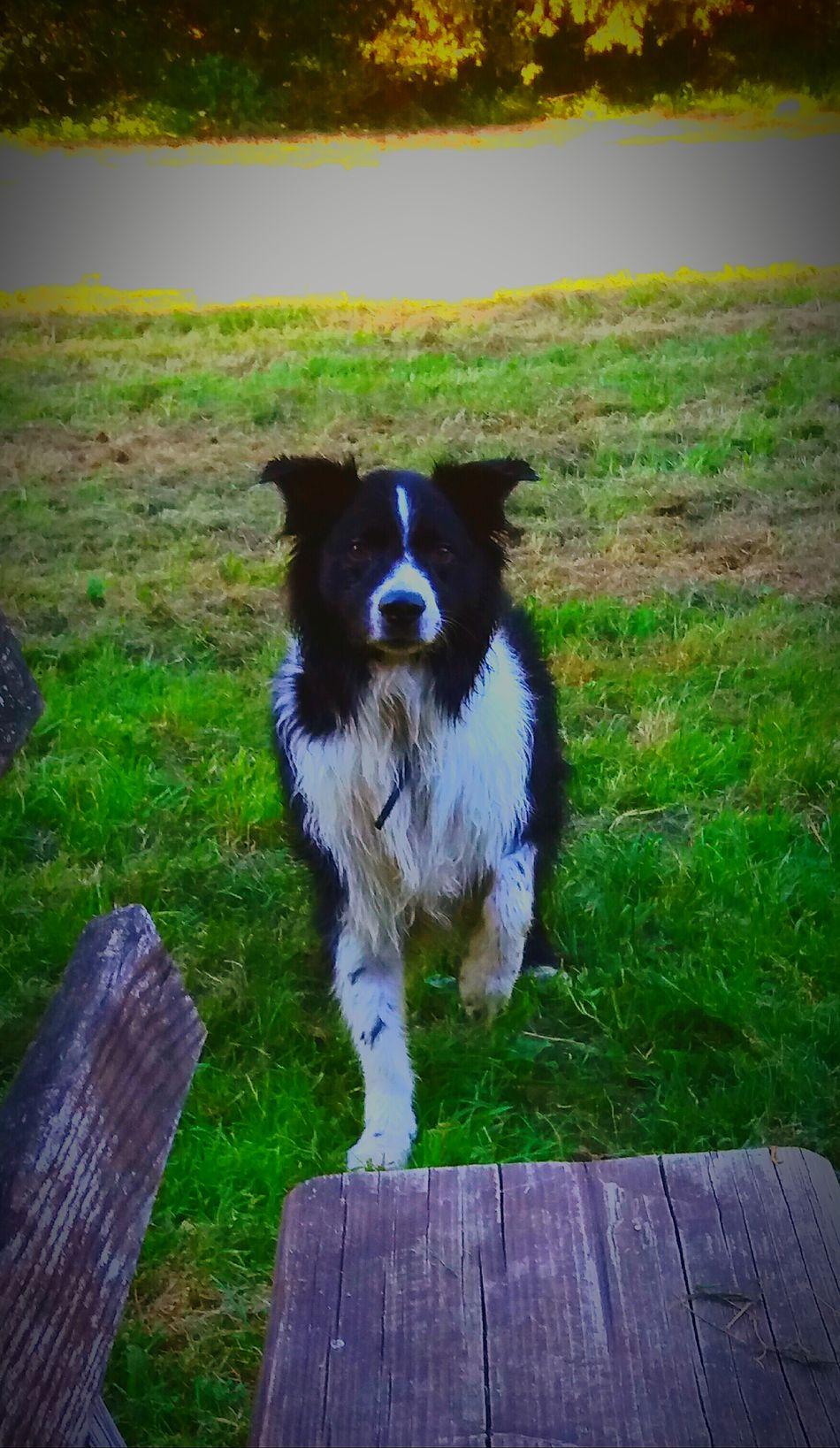 First Eyeem Photo Blackandwhite Border Collie Australienshepard Dog Pets Animal Animal Themes Black Color Waiting Playing
