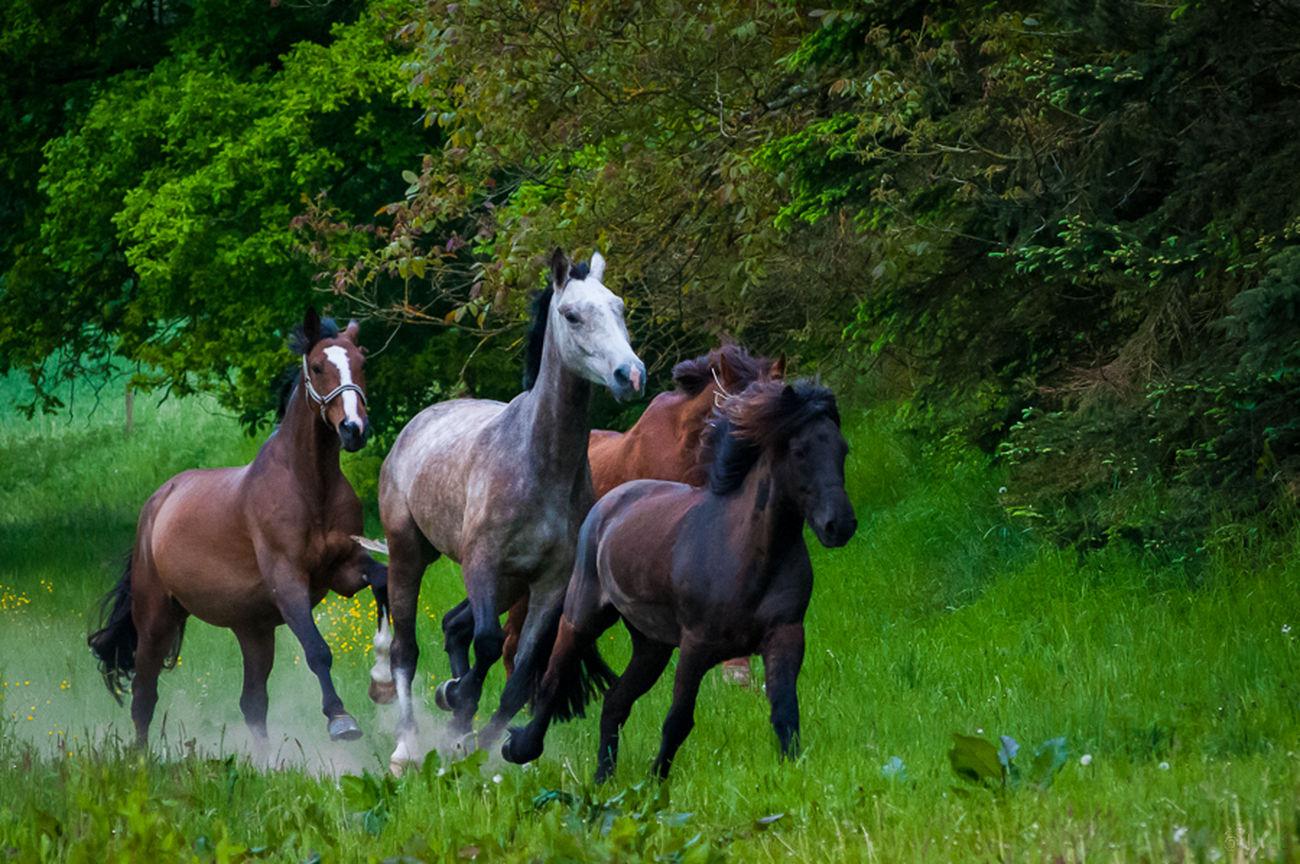 Pferde Pferd Galopp Horses Horse Cheval Ab durch die Prärie