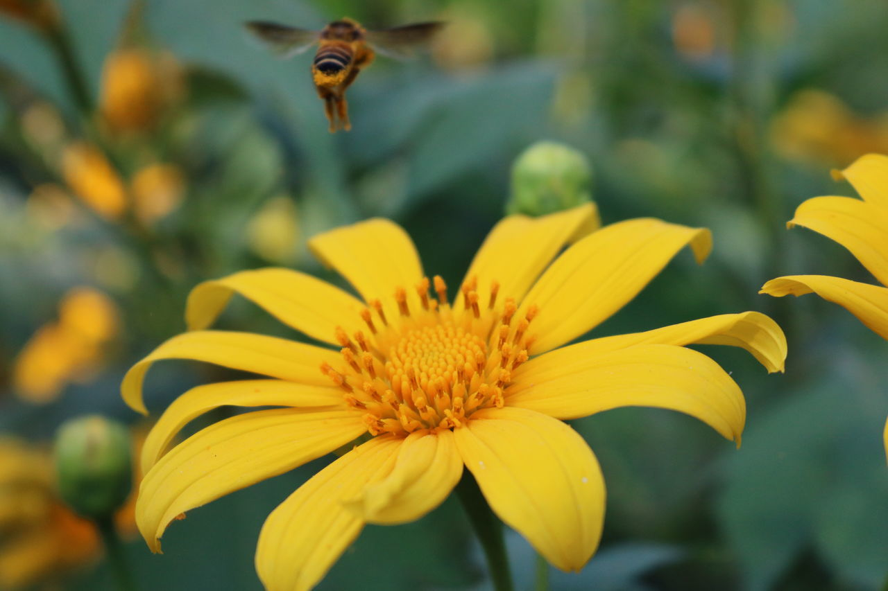 Animal Themes Beauty In Nature Bee Blooming Close-up Flower Flower Head Focus On Foreground Fragility Freshness Growth In Bloom Insect Japanese Sunflower Mexican Sunflowers Mexican Tournesol Nature Outdoors Petal Plant Selective Focus Tree Marigold Wildlife Yellow ดอกบัวตอง