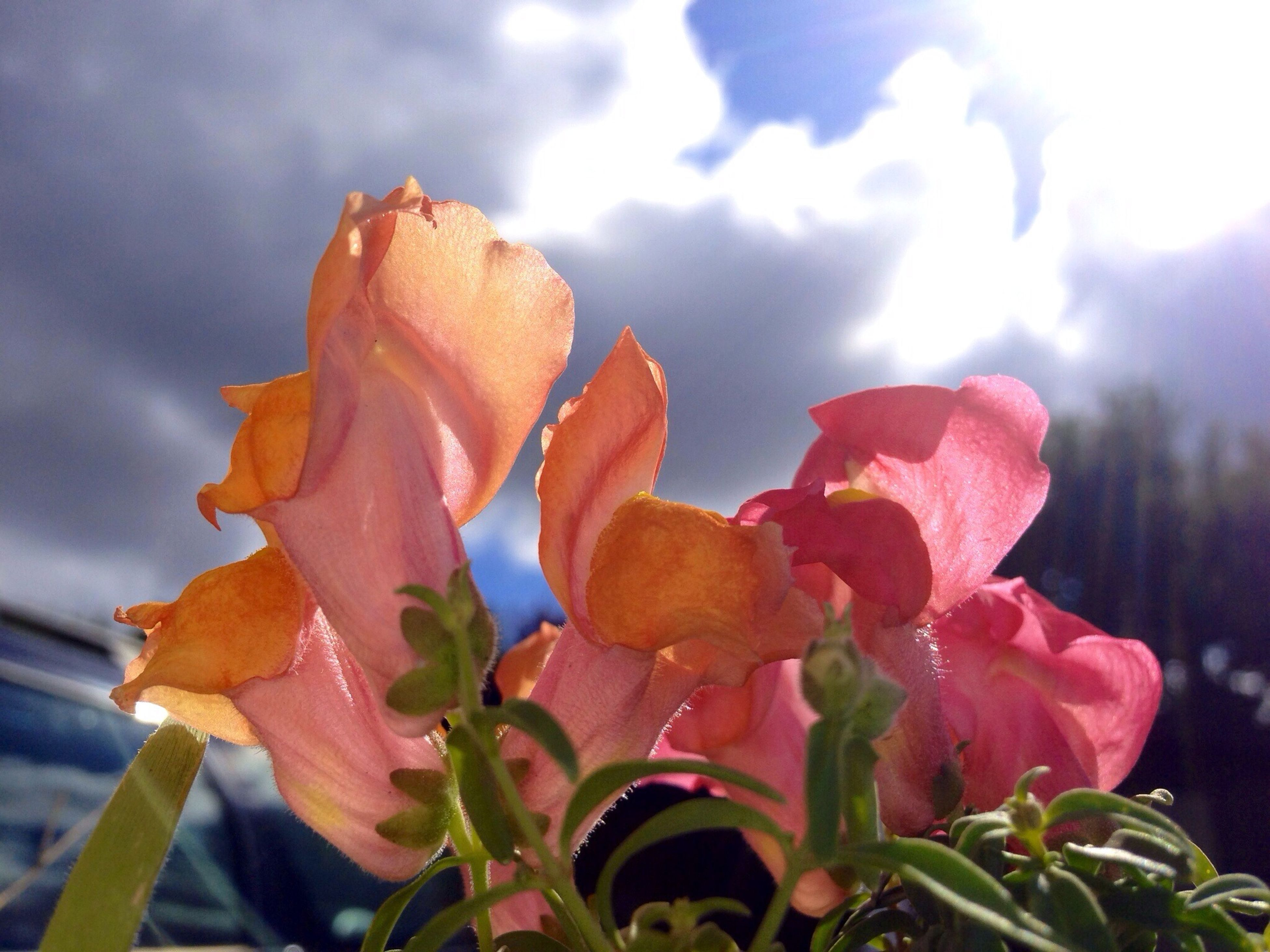 flower, fragility, petal, freshness, growth, sky, beauty in nature, focus on foreground, nature, close-up, plant, flower head, cloud - sky, blooming, leaf, outdoors, cloudy, day, season, stem