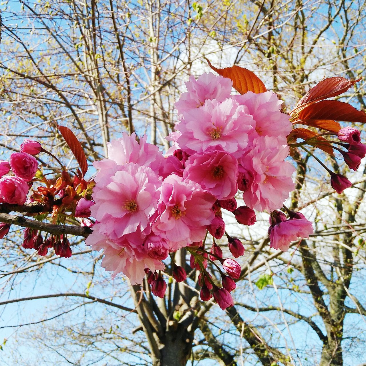 Japanese Cherry Blossoms Tree Flower Flowers Pinkflower Pink Japanese Cherry Tree.