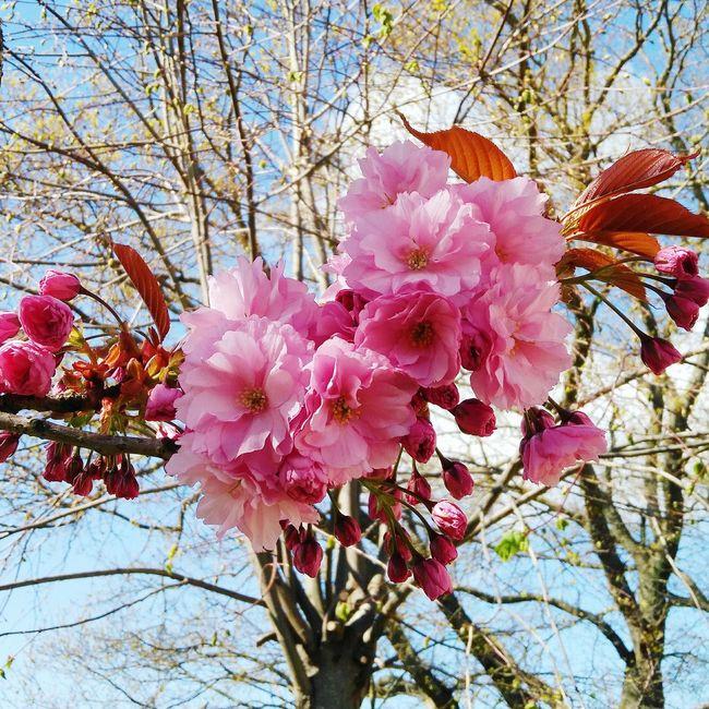 Japanese Cherry Blossoms Tree Flower Flowers Pinkflower Pink Japanese Cherry Tree.