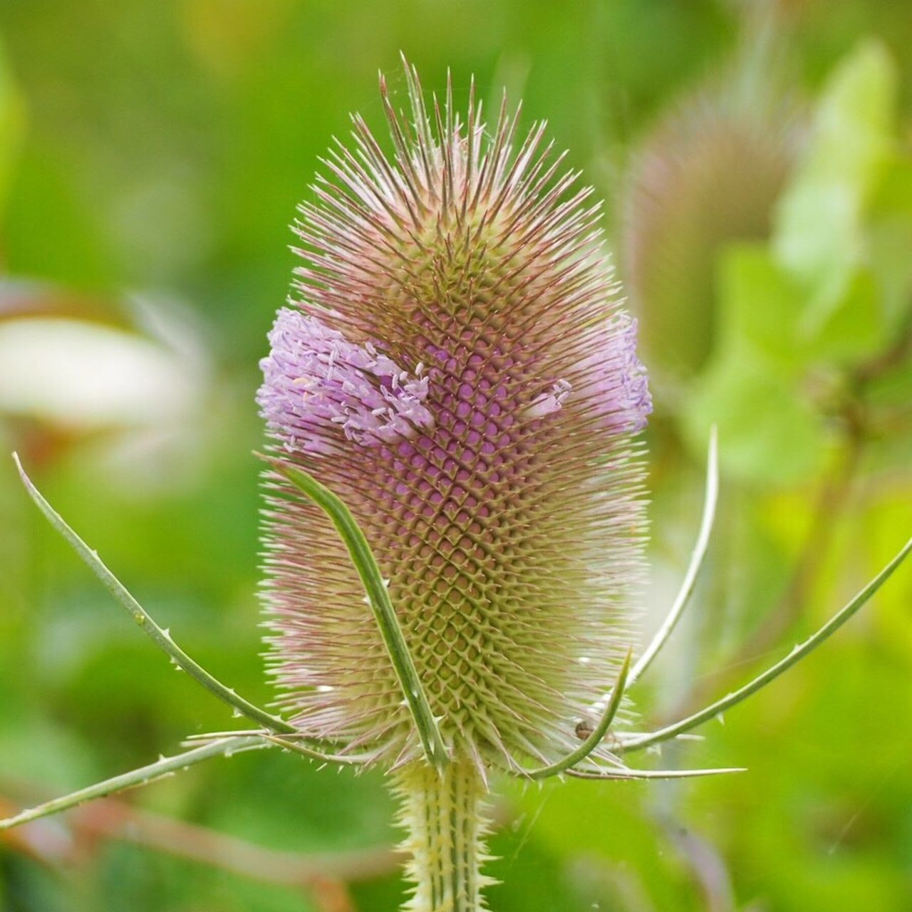 nature, growth, plant, flower, beauty in nature, close-up, focus on foreground, outdoors, no people, day, green color, spiked, thistle, fragility, flower head, freshness