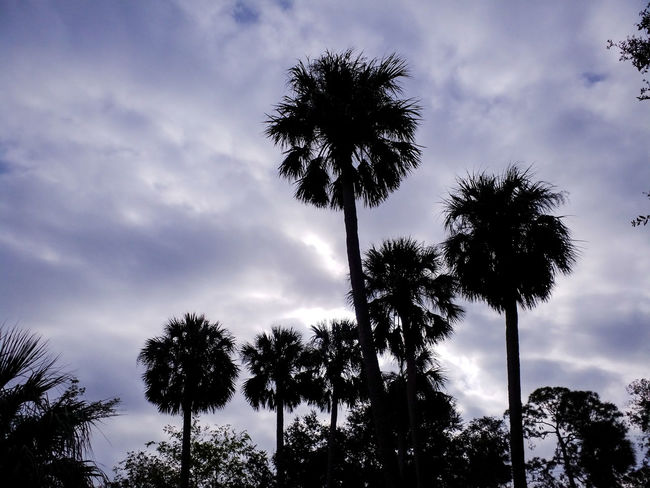 Palms And Sky Tree Cloud - Sky Sky Palm Tree Tree Trunk Low Angle View Silhouette Nature Tranquility Outdoors Day Beauty In Nature No People Perspectives On Nature