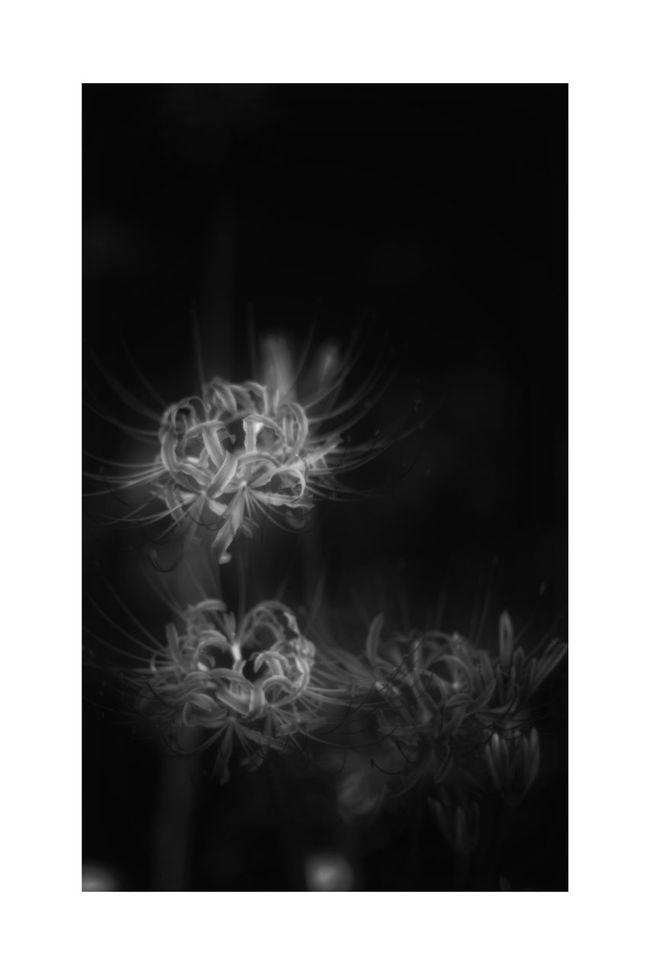 相思華 Flower Cluster Amaryllis Spider Lily