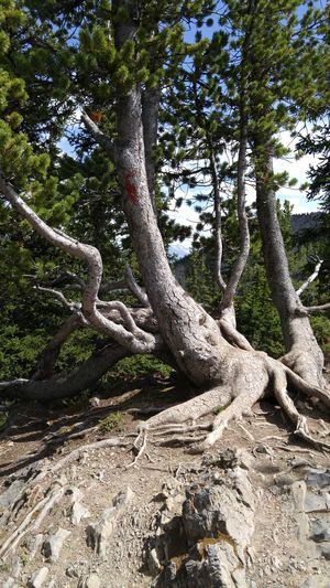 Gnarly pine tree with exposed roots in the Rocky Mountains at Banff, Alberta, Canada. Day Tree Outdoors No People Sunlight Nature Growth Forest Branch Beauty In Nature Sky Banff  Banff National Park  Banff, Alberta Gnarly Tree Coniferous Trees Exposed Roots Up In Mountains