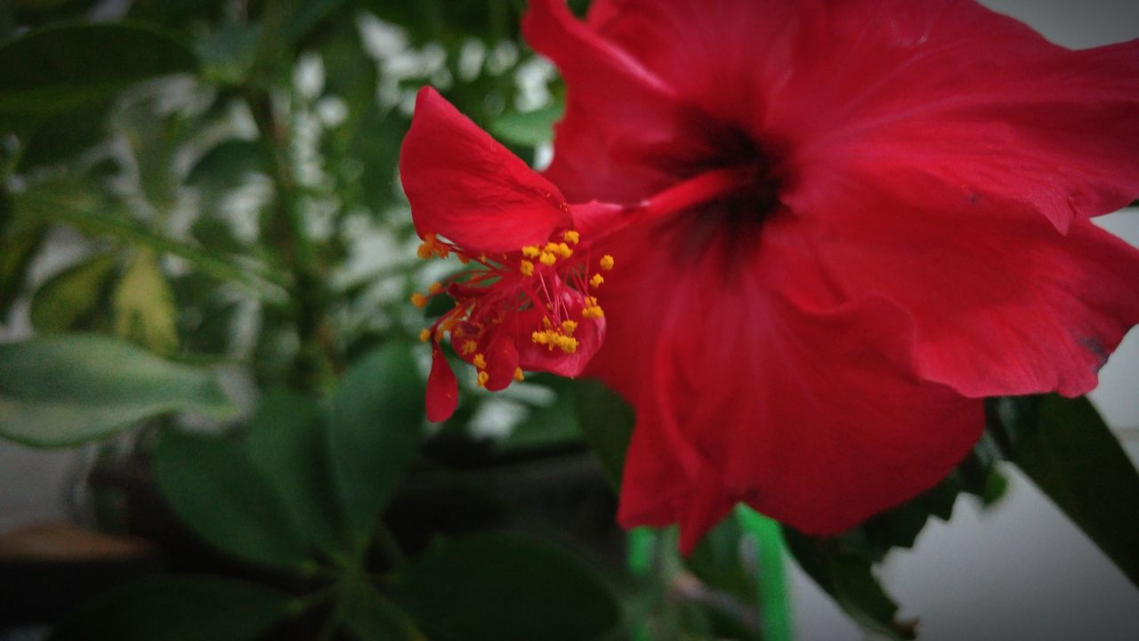 Hibiscus Flower Red Nature Plant Beauty In Nature Close-up Blooming Freshness Flower Head Hibiscus 🌺 Bulgaria Green Varna Plant Bush Bloom