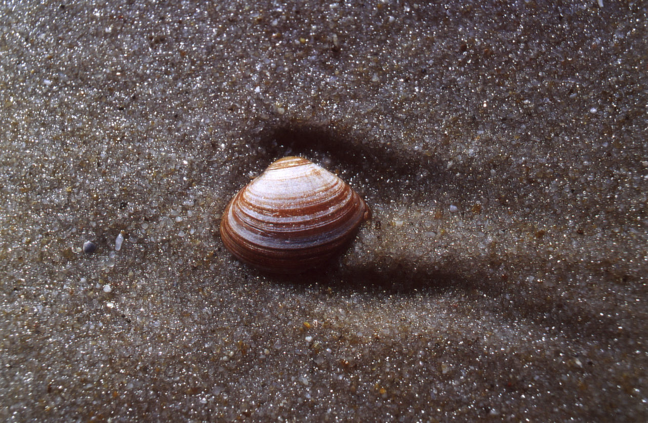 snail, animal shell, one animal, animal themes, animals in the wild, gastropod, nature, wildlife, no people, sand, animal wildlife, outdoors, close-up, day, beach, sea life